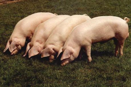 A Sabedoria por detrás da Proibição da Carne de Porco